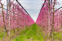 Geometries of orchards in bloom Stock Images