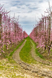 Geometries of orchards in bloom Royalty Free Stock Image