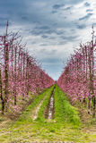 Geometries of orchards in bloom Stock Image