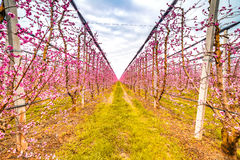 Geometries of orchards in bloom Stock Photography