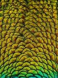 Geometrisk modeller och design i färgrika påfågelfjädrar royaltyfri bild