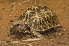 geometrisk sköldpadda Royaltyfri Bild