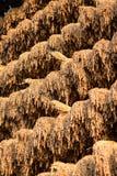 Geoogste die rijst wordt gehangen om in de zon te drogen stock afbeelding