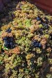Geoogste druiven in een container royalty-vrije stock foto