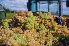 Geoogste druiven in een vrachtwagencontainer Stock Foto