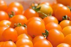 Geoogste gele tomaten Royalty-vrije Stock Fotografie
