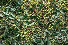 Geoogste verse olijven op een gebied in Kreta, Griekenland Stock Foto