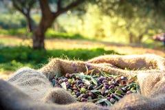 Geoogste verse olijven in zakken op een gebied in Kreta, Griekenland voor olijfolieproductie Stock Foto's