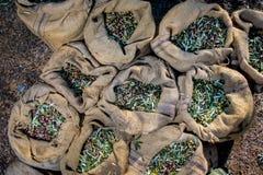 Geoogste verse olijven in zakken op een gebied in Kreta, Griekenland voor olijfolieproductie Stock Afbeeldingen