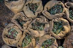Geoogste verse olijven in zakken op een gebied in Kreta, Griekenland voor olijfolieproductie Royalty-vrije Stock Foto's