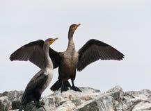 Geoorde Aalscholver, Czubaty kormoran, Phalacrocorax aura zdjęcia royalty free
