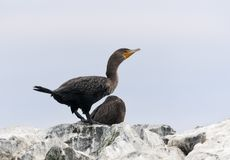 Geoorde Aalscholver, Double-crested Cormorant, Phalacrocorax auritus royalty free stock photos