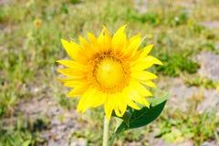 Geopende de zomerdag van de bloemzonnebloem Royalty-vrije Stock Afbeelding