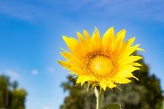 Geopende de zomerdag van de bloemzonnebloem Royalty-vrije Stock Afbeeldingen