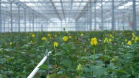 Geopende enkel heldere gele rozen binnen een serre stock footage