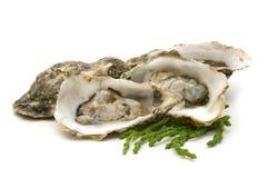 Geopende oesters Royalty-vrije Stock Fotografie