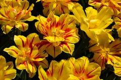 Geopende tulpen Stock Afbeelding
