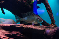 Geophagus Surinamensis images stock