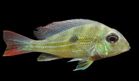 Geophagus winemilleri Stock Images