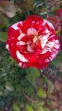 George Burns broken color peppermint striped Floribunda Rose Stock Photography