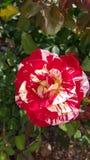 George Burns broken color peppermint striped Floribunda Rose Stock Photo