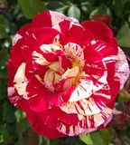 George Burns broken color peppermint striped Floribunda Rose. Flowering bush in rose garden. A rose is a woody perennial flowering plant of the genus Rosa, in royalty free stock photo