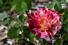 George Burns Rose imagen de archivo