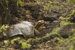 George seul - tortue géante Photos libres de droits
