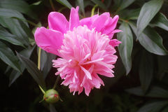 Georgeous peony Stock Images