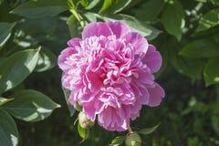 Georgeous pion i en full blom Fotografering för Bildbyråer