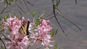 Georgia ön Ford Park, den östliga Tiger Swallowtail fjärilen på rhododendron blommar arkivfilmer