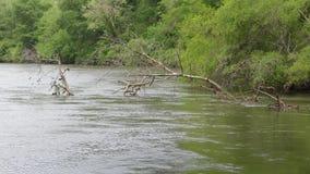Georgia, парк Дон белый, дерево a длинное мертвое вдоль банка Рекы Chattahoochee сток-видео