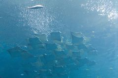 Georgia aquarium Royalty Free Stock Image