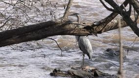 Georgia, Chattahoochee River, A Blue Heron standing on rock in the River, not moving. A Blue Heron bird standing on a rock in the Chattahoochee River not moving stock video footage