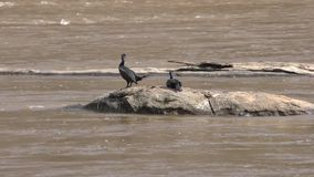 Georgia, Chattahoochee River, close up of two Cormorants birds on River rocks. Two black Cormorant birds sitting on rocks in the the middle of the Chattahoochee stock video footage