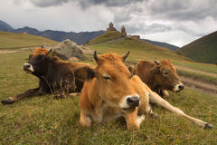 Georgia. Cows on the mountain pasture Stock Photography