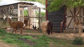Georgia, Hall County, альпаки и цыплята на ферме в сельском Hall County, GA сток-видео
