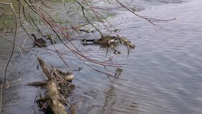 Georgia, Island Ford Park, Camera follows two Canada geese as the swim under the trees. These are two Canada geese that swims along the Chattahoochee River and stock video