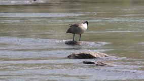 Georgia, Island Ford Park, A Canada goose cleaning itself on a rock on the Chattahoochee. A Canada goose cleaning itself on a rock on the Chattahoochee River stock footage