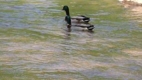 Georgia, Jones Bridge Park, Two Mallard ducks swimming and drinking on the Chattahoochee River. Two mallard ducks swimming and drinking on the Chattahoochee stock footage