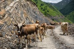 Georgia, mountain road with cows. Mountain road to Dusheti region Alpine fields with cows.  royalty free stock photo