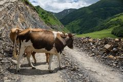 Georgia, mountain road with cows. Mountain road to Dusheti region Alpine fields with cows.  stock image