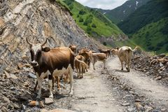 Georgia, mountain road with cows. Mountain road to Dusheti region Alpine fields with cows.  royalty free stock image