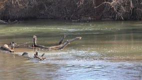 Georgia, Nationalpark Etowah-amerikanischen Ureinwohners, toter Zweig mitten in dem Etowah-Fluss stock video footage