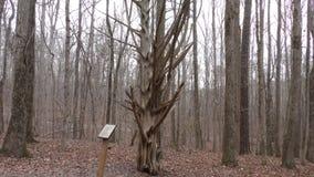Georgia, parque de la cala de Sweetwater, árbol de cedro de A que tiene miembros muy extraños, no audio almacen de video