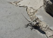 Georgian LIzard on Stone stock photography