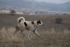 Georgian Shepherd Dog stock photography