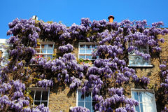 Georgian terraced town house with wisteria. Georgian terraced town houses in London's, Chelsea, England covered in beautiful wisteria sinensis Royalty Free Stock Photo