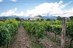 Georgian vineyard Royalty Free Stock Image