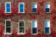 Georgian windows surrounded by ivy.Dublin.Ireland. Rows of Georgian windows surrounded by red colored ivy in Autumn. Dublin . Ireland royalty free stock image